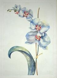 Orchids, watercolor, Margo Herr